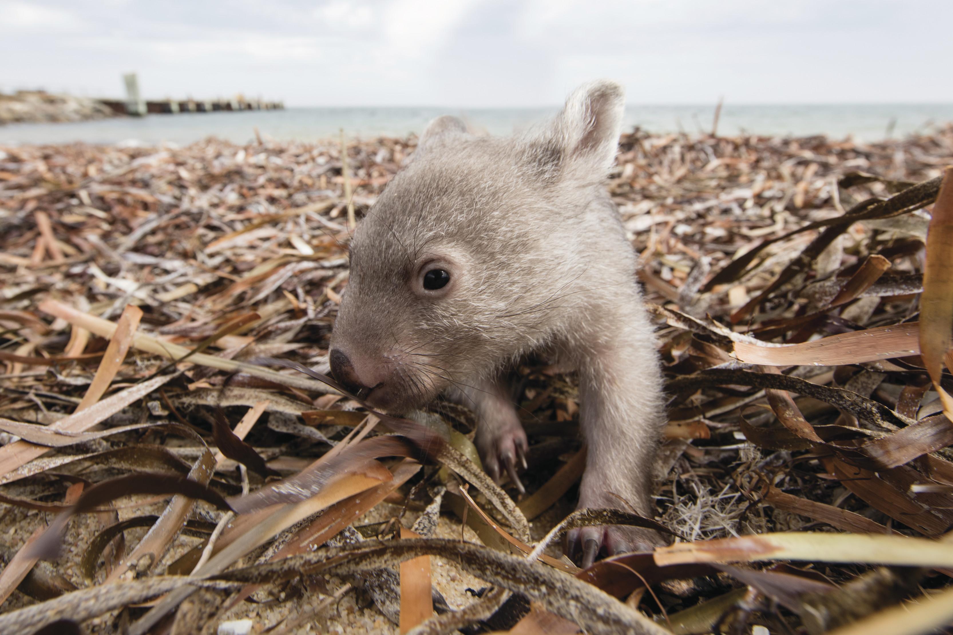 Baby Wombat || Traveling Honeybird