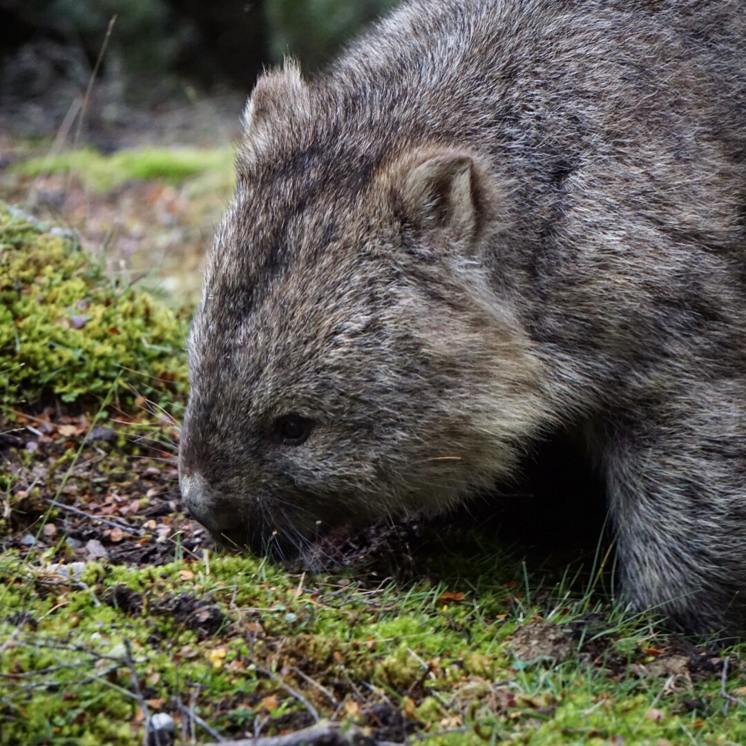 Wombat Life at Cradle Mountain Lodge || Traveling Honeybird