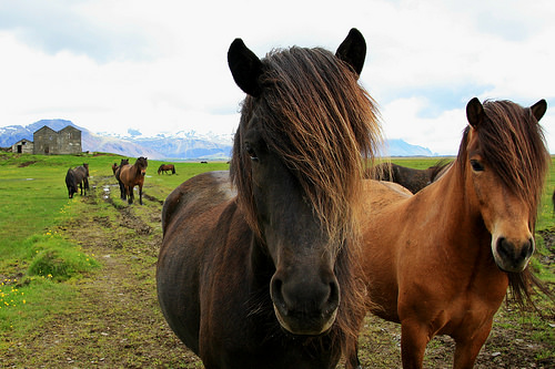 Icelandic pony || Traveling Honeybird