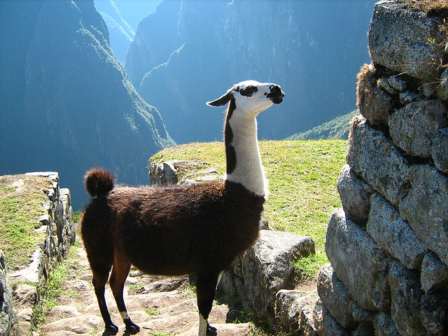 Cusco Llama || Traveling Honeybird