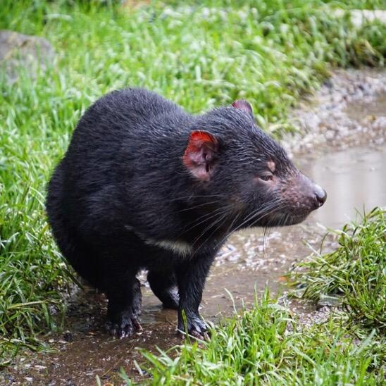 Tasmanian Devil at Devils @ Cradle || Traveling Honeybird