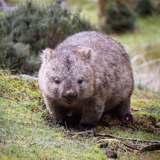Wombat at Cradle Mountain Lodge