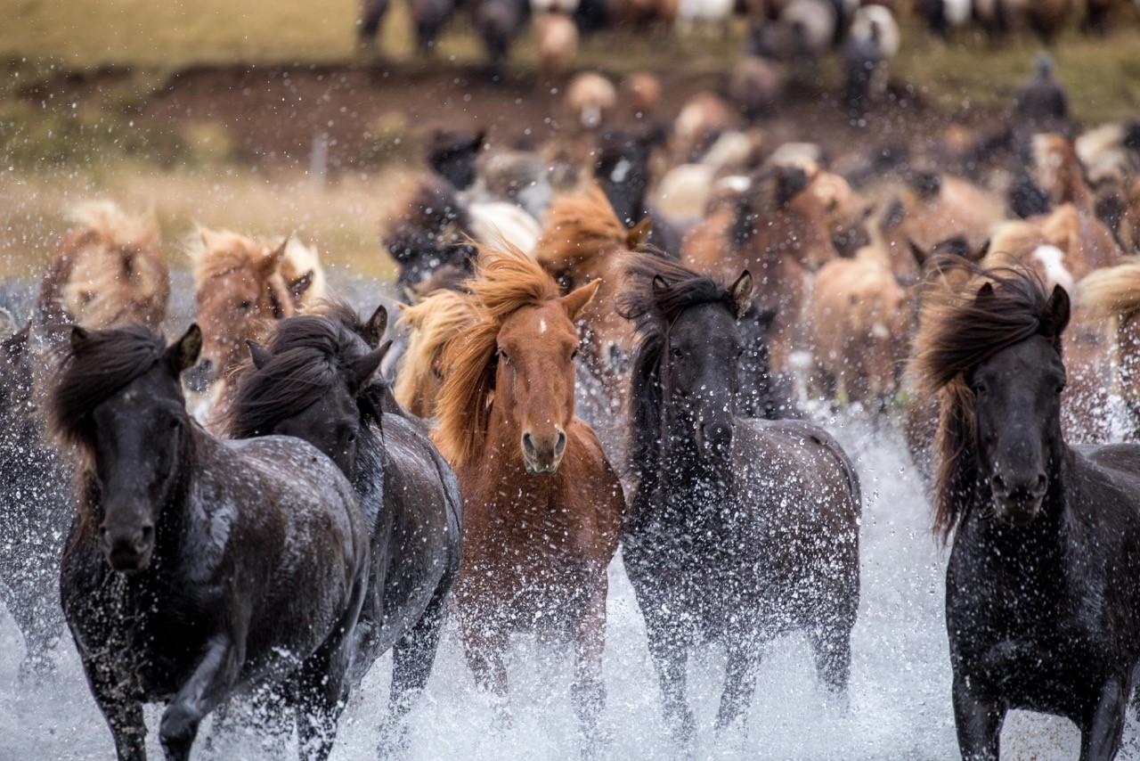 Iceland horses running free