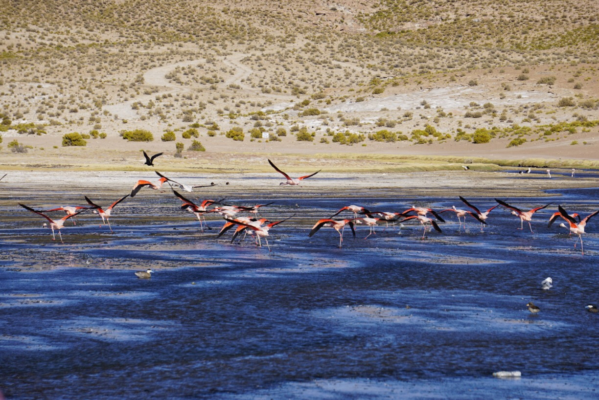Finding flamingos is an amazing thing to do in Bolivia