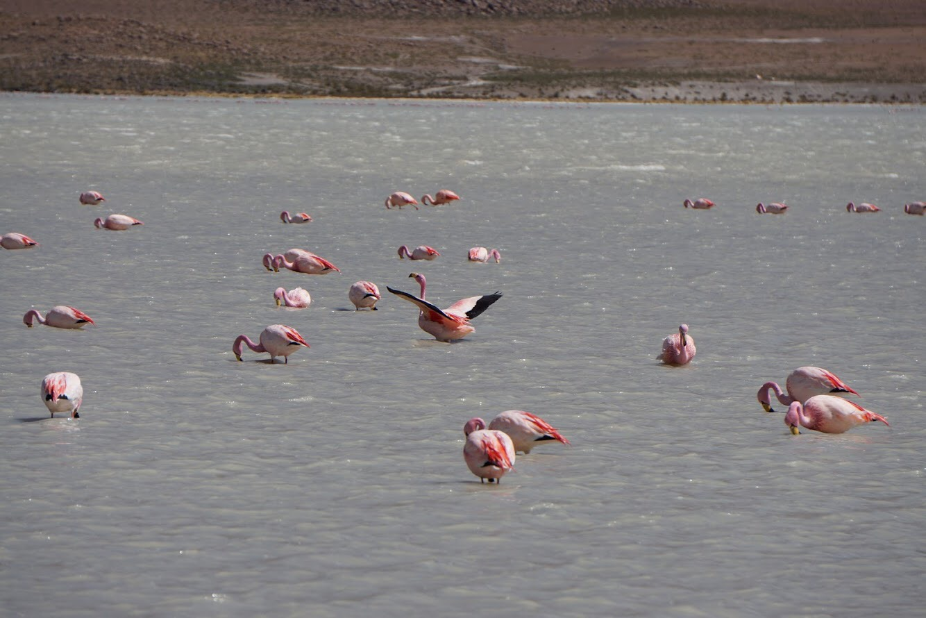 Bolivian flamingos in the wild