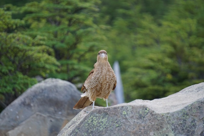 A judgemental bird in Torres Del Paine National Park