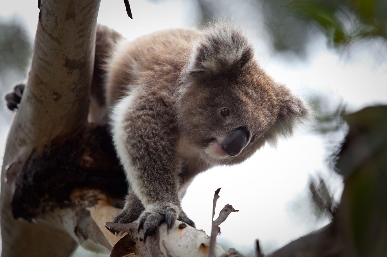 Koala Conservation Centre Maru