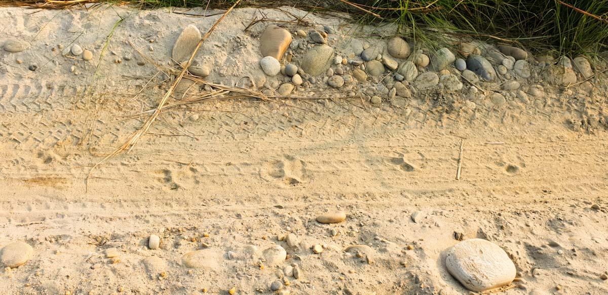 tiger prints chitwan national park